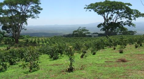 タンザニア「ブラックバーン農園」ようやく入荷しました!