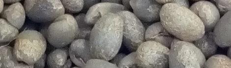 丸豆:ピーベリー2